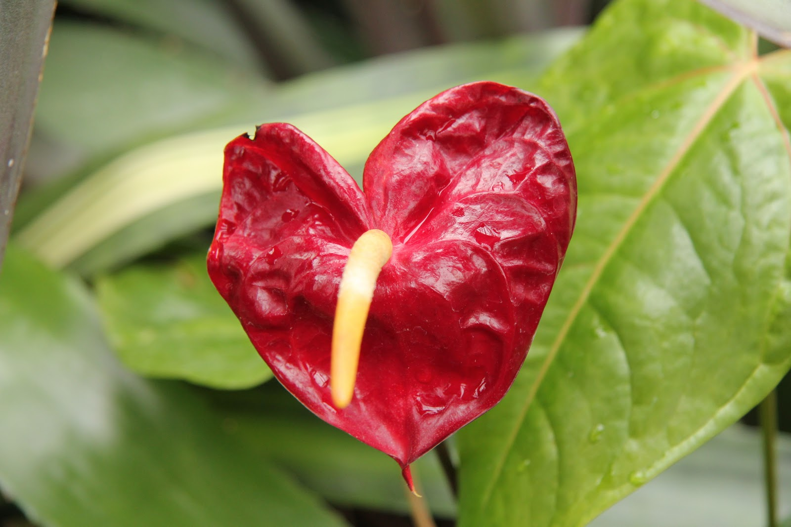 Gardening and gardens a unique valentine flower this beautiful heart shaped flower with the spadix projecting sharply from the center is one of the most popular tropical flowers used by florists dhlflorist Images