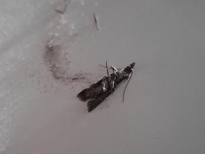Plodia interpunctella, Moth - Dead