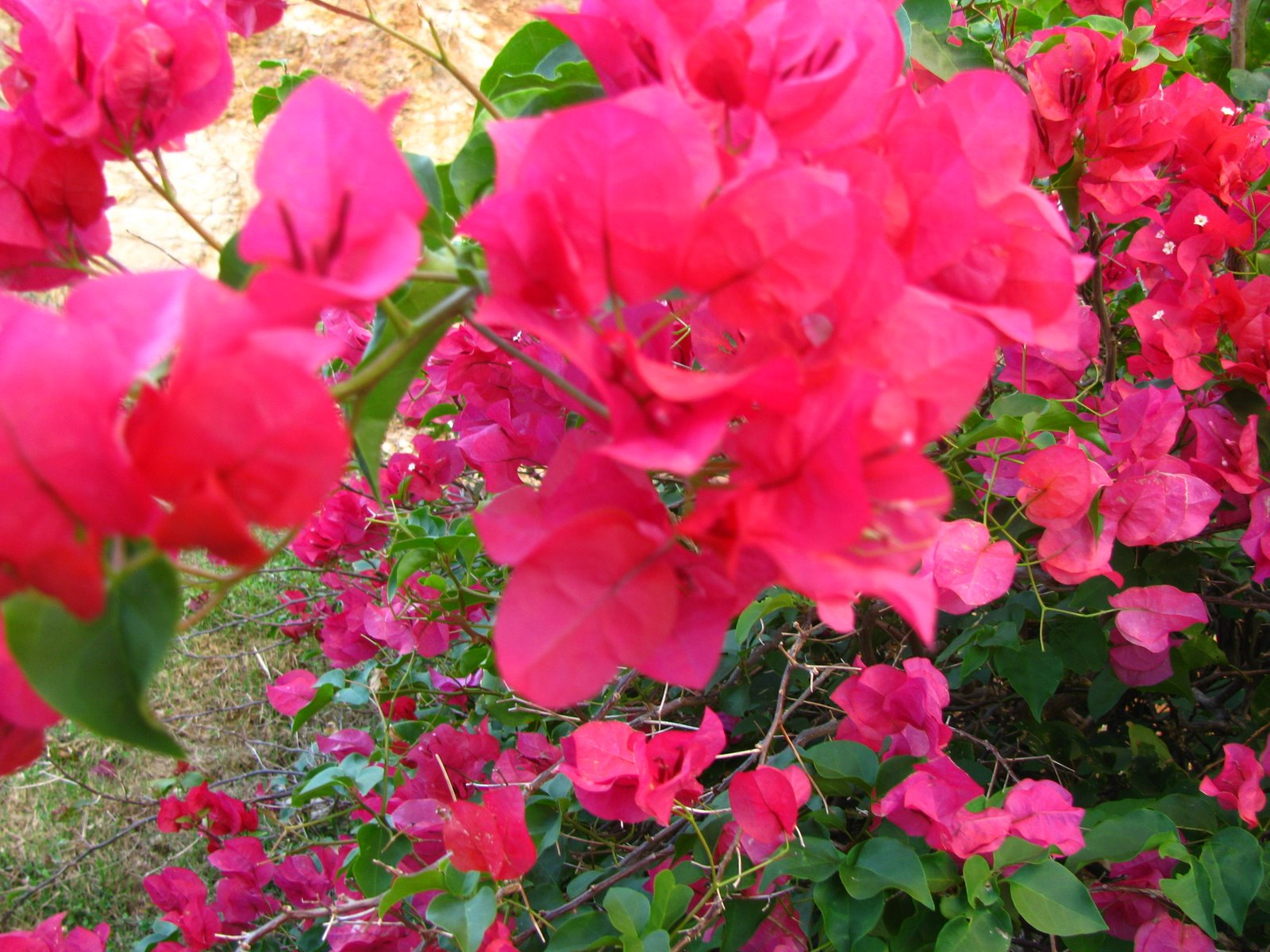 Bougainvillea Wallpaper