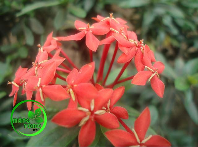 Khasiat dari bunga asoka