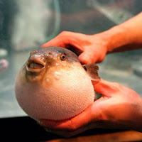 6. Peixe baiacu