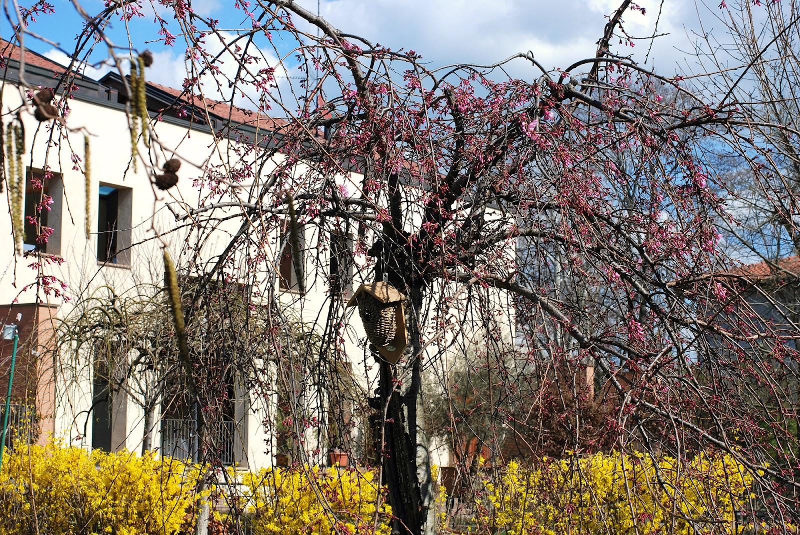 Il mondo in un giardino marzo 2012 - Ciliegio da giardino ...