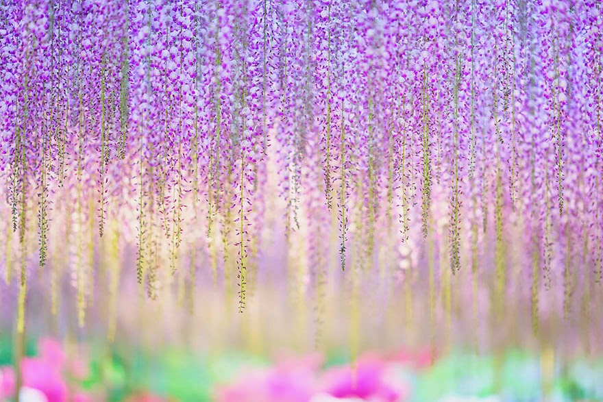 YearOld Wisteria In Japan Looks Like A Pink Sky - Beautiful wisteria plant japan 144 years old