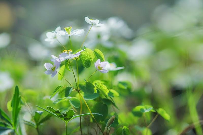 Ozark Wildflowers_Rue Anemone