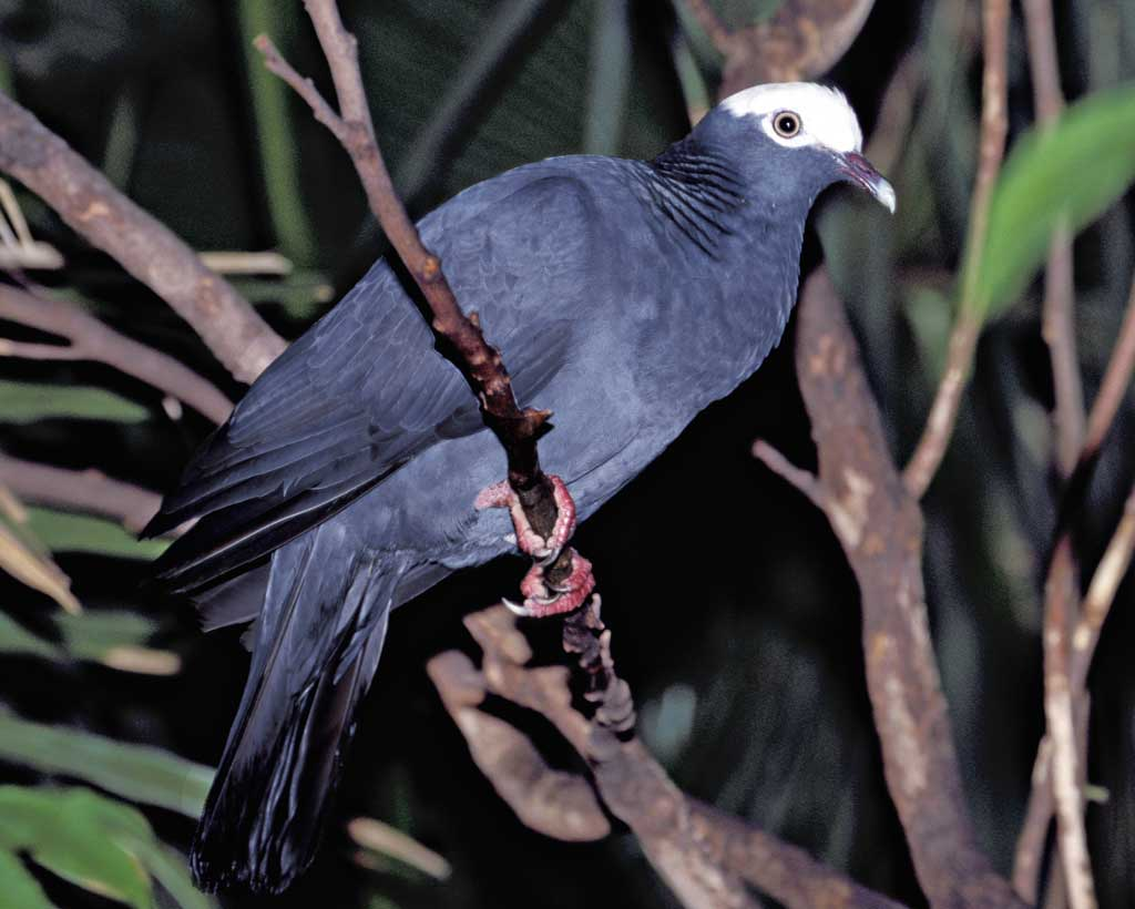 White crowned pigeon - photo#4