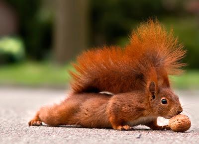 Eichhörnchen macht Liegestütze - Eichhörnchen Foto