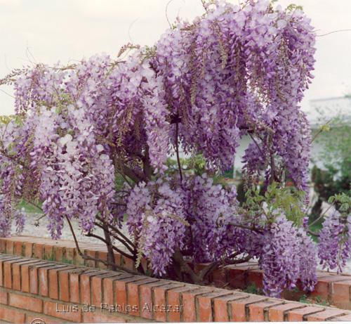 C mo cuidar las plantas glicina sinensis for Glicina planta