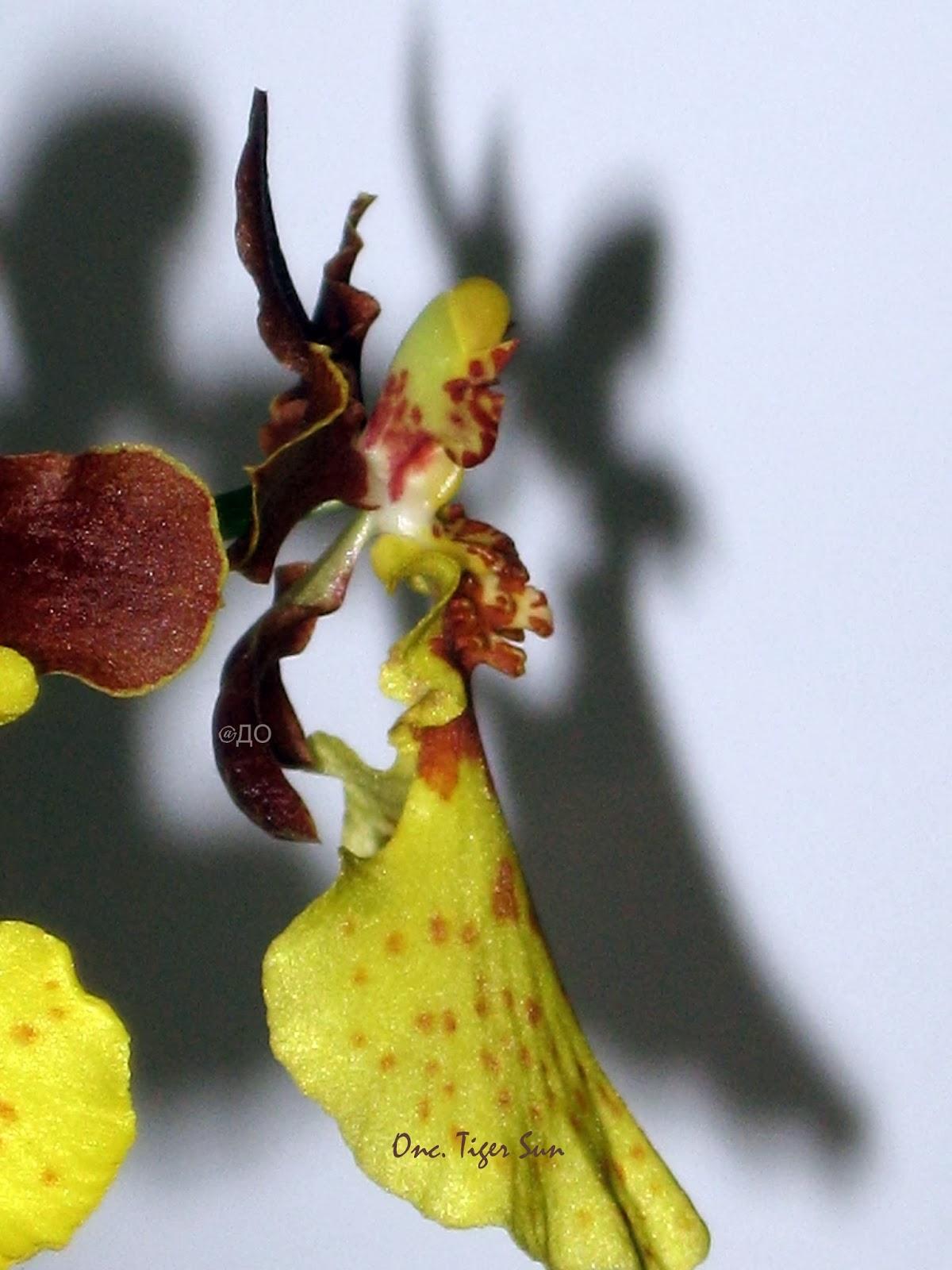 Oncidium Tiger Sun - я самый-самый красивый