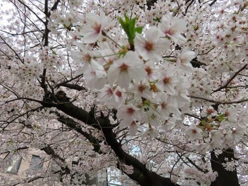 神田明神の桜12