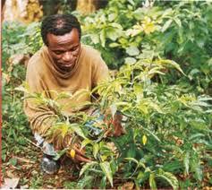 Ibogaína - Ajuda ou desespero de causa ? - http://www.mais24hrs.blogspot.com.br