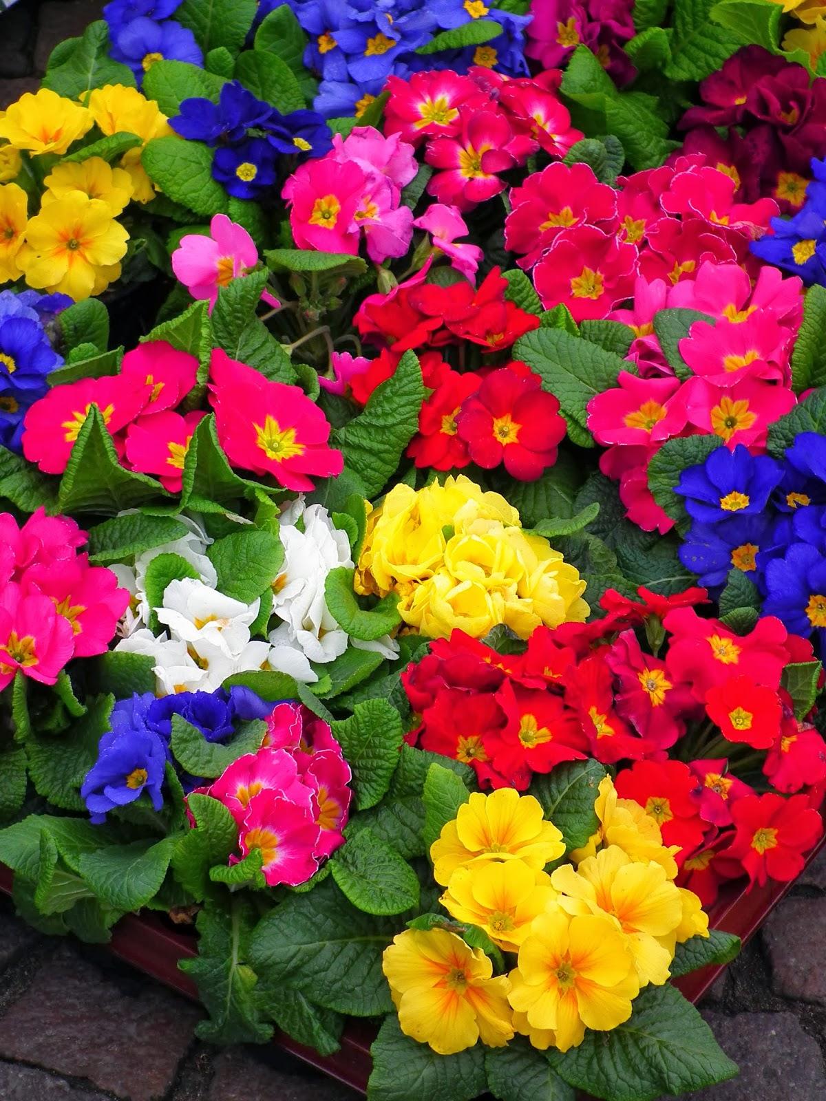 Peces y plantas ornamentales primula acaulis pr mula - Plantas de exterior baratas ...