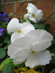 White Pansies...♥