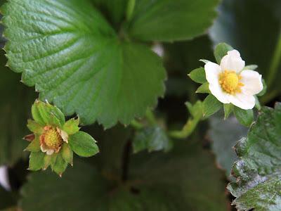 Flores de Fresas y Frutos Pequeñitos en una Planta de Fresas en Como Sembrar y Cuidar Fresas en Macetas y Con Limitaciones de Espacio.