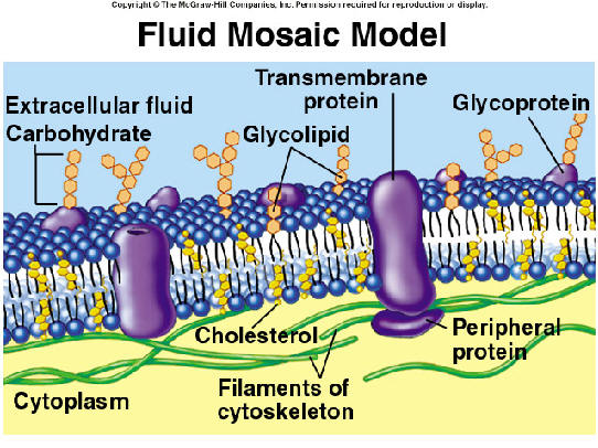 Of A Cell Membrane