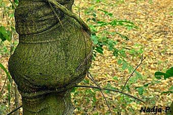 Árvore grávida