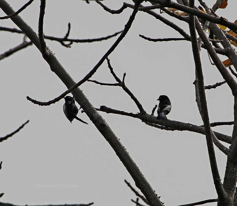 White-shouldered Black Tits in Gambia