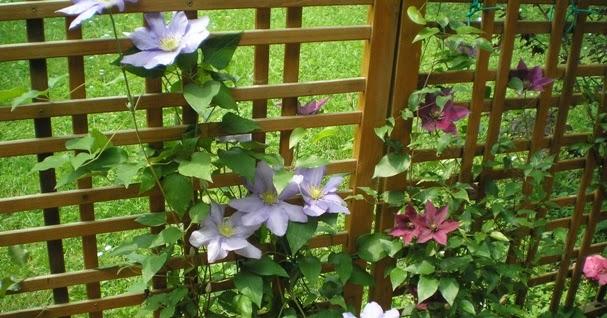 Piante e fiori come si coltivano i rampicanti su una terrazza for Piante rampicanti sempreverdi