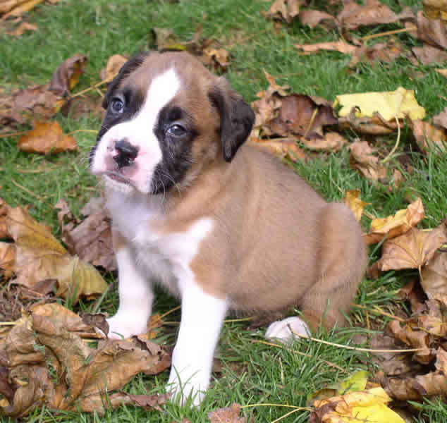 cute puppy dogs cute boxer puppies