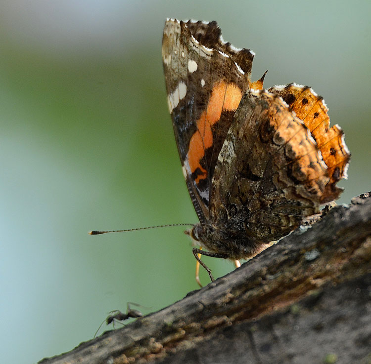 A Red Admiral (Vanessa atalanta) butterfly shares a bit of sap from  a sap flow in our ash tree with an ant.