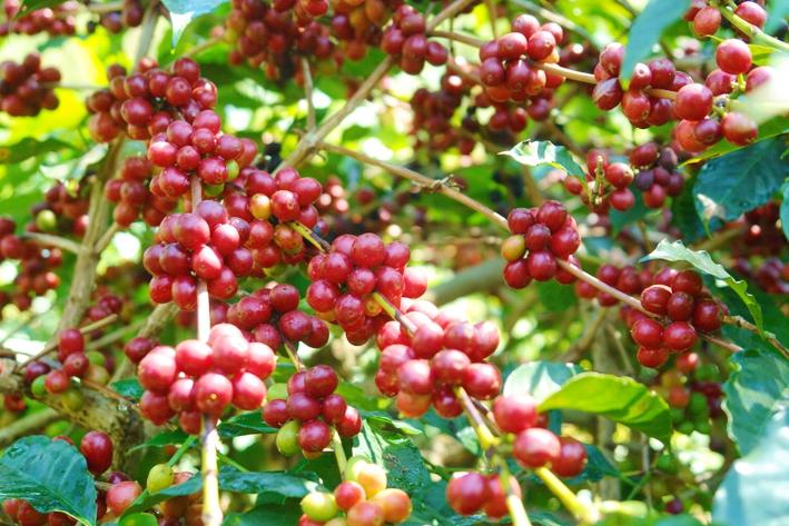 Civet coffee process - photo#24
