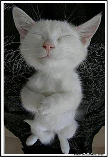 studioslera.com gatito meditacion animales