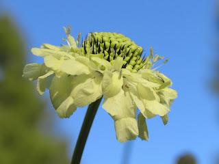 Jättevädden Cephalaria gigantea.