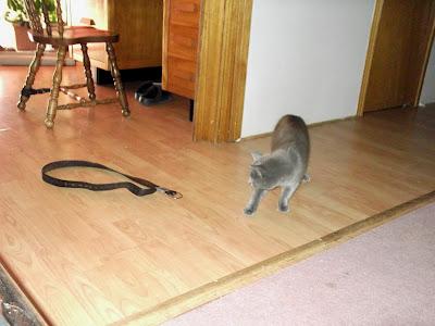 grey cat distances himself from belt