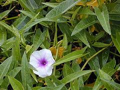 Bunga Tanaman Kangkung