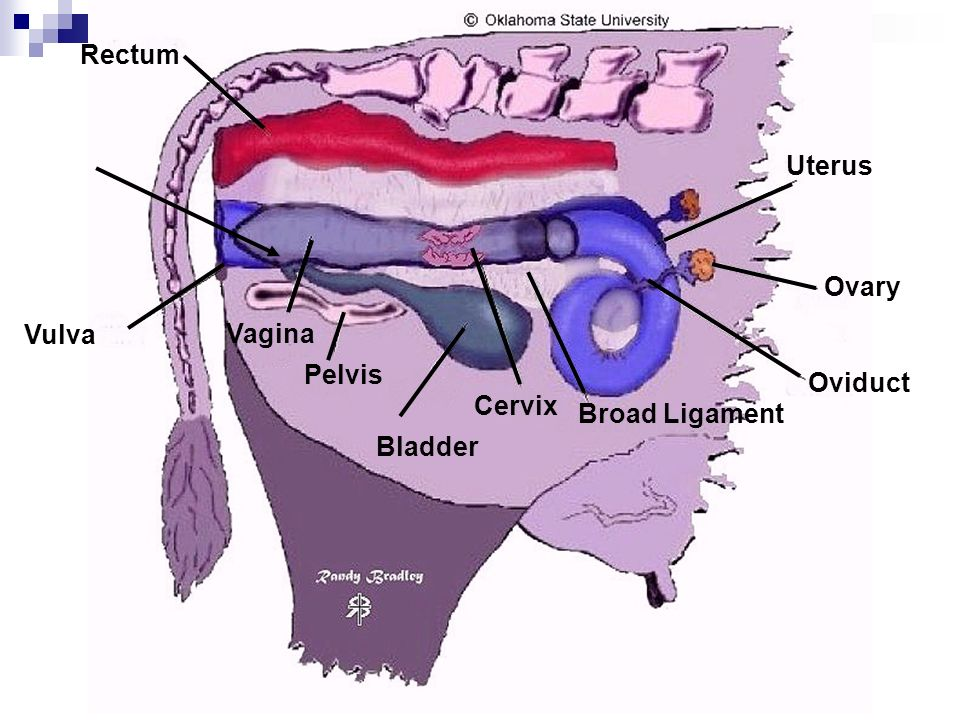 Uterine torsion in cattle vet in training uterine torsion in cattle ccuart Image collections