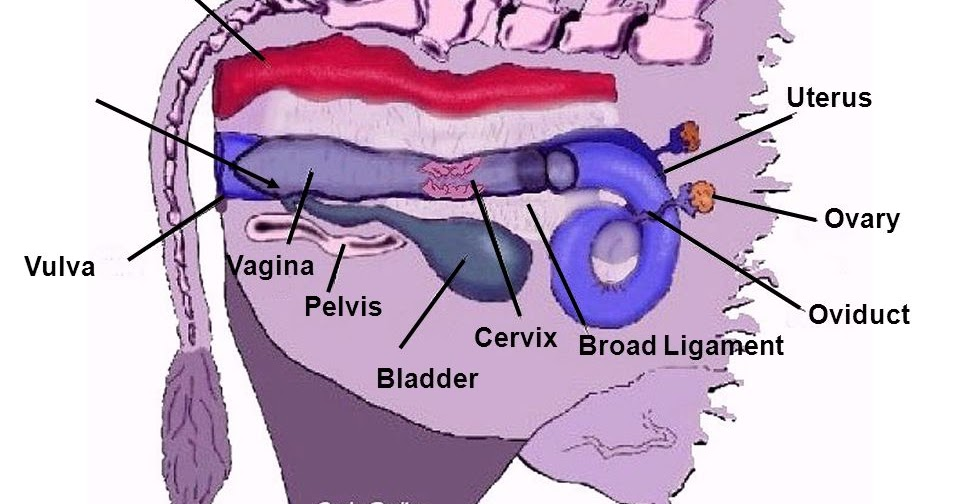 Uterine Torsion in Cattle - Vet in Training