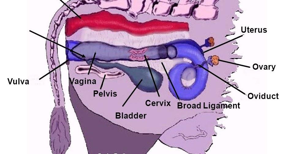 Contemporary Uterus Anatomy Ligaments Inspiration - Human Anatomy ...