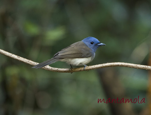 Kaeng Krachan, Black Naped Monarch
