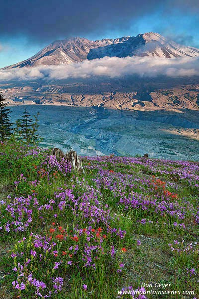 Mount St. Helens above flower meadows of lupine and paintbrush on Johnston Ridge, Mount St. Helens National Volcanic Monument, Washington, USA.