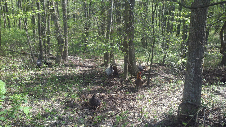 Chickens Foraging in the Woods
