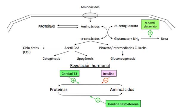 hormonas anabolicas en el embarazo