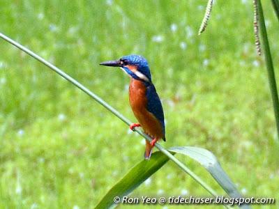 Blue-eared Kingfisher (Alcedo meninting)