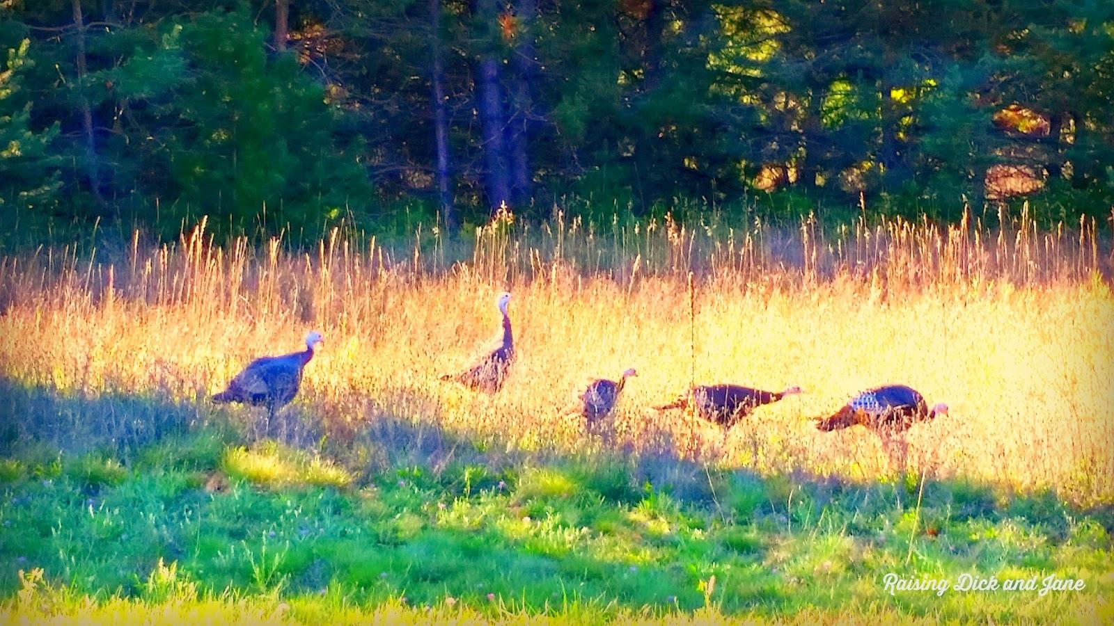 Wild Turkeys in Boyne Falls, MI #Michigan #travelblogger