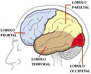 Ilustración de los Lóbulos del Cerebro