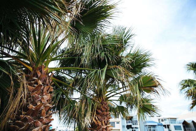 Palm trees at the Dolphin Quay in Mandurah, Western Australia.