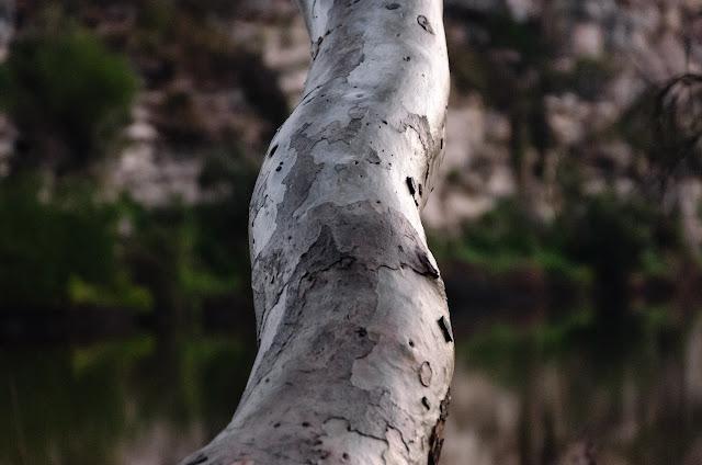 eucalypt branch