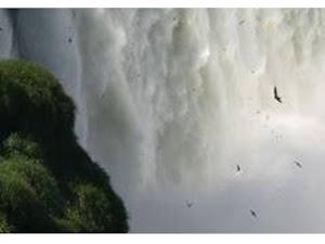 Vencejo del Iguazú