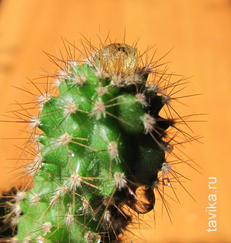 кактус сохраняет влагу с помощью колючек