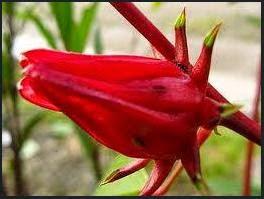 Bunga Resola Merah