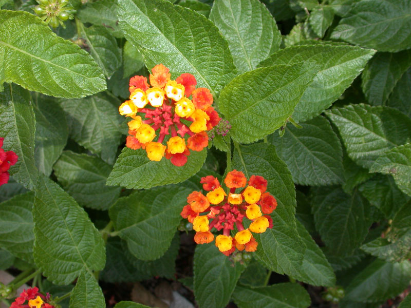 Flower Picture Lantana Flower