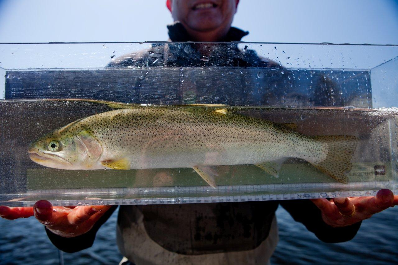 Fly rod nimrod sea run cutthroats on puget sound for Puget sound fly fishing