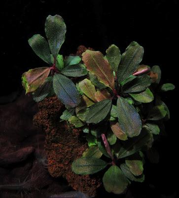 Картинки по запросу bucephalandra sp. batang kawa