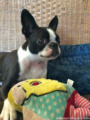 Boston terrier with bearded lady dog toy