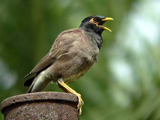 Foto Burung Jalak Nias Terbaik