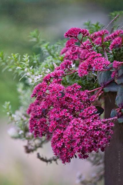 Sedum cauticola, Pflanzung im Corten-Stahltrog an der Terrasse