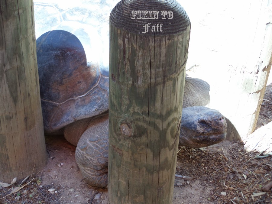 Cameron Park Zoo Galapagos Tortoise